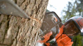 Metsuri kaataa puuta